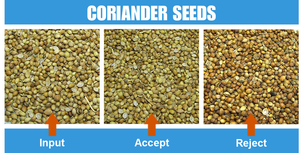 Sorted Sample Coriander Seeds