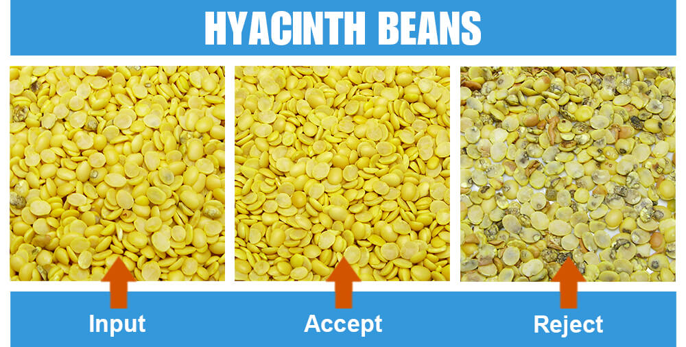 Sorted Sample Hyacinth Beans