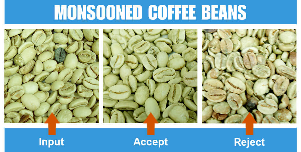 Sorted Sample Monsooned Coffee Beans