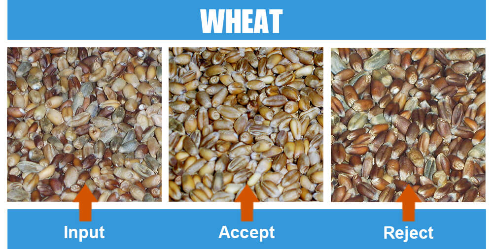 Sorted Sample Wheat