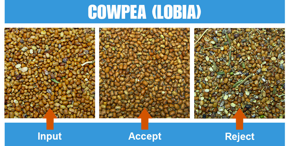 Sorted Sample Cowpea Lobia